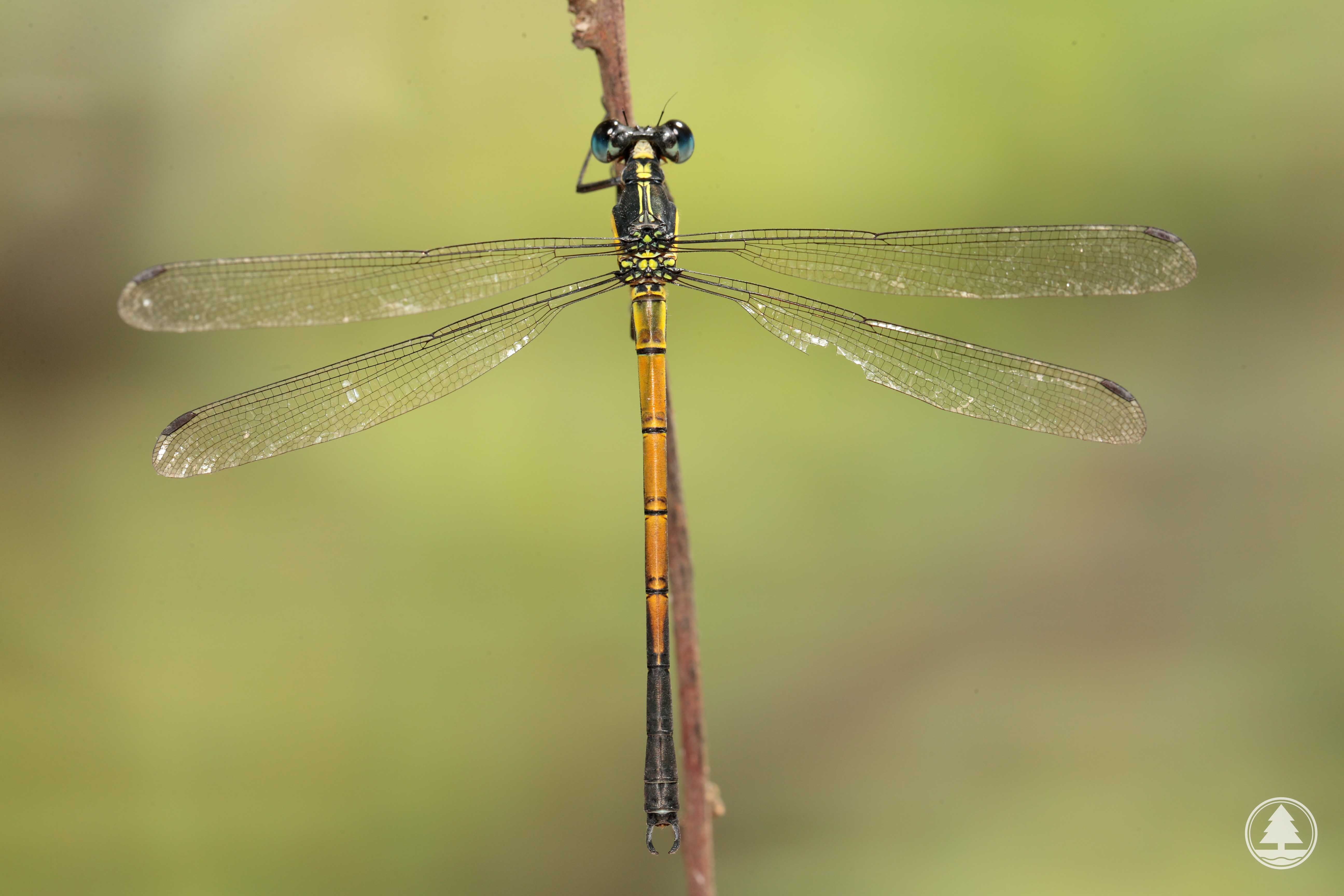Agriculture Fisheries And Conservation Department Conservation Hong Kong Biodiversity Online Hk Species Dragonflies