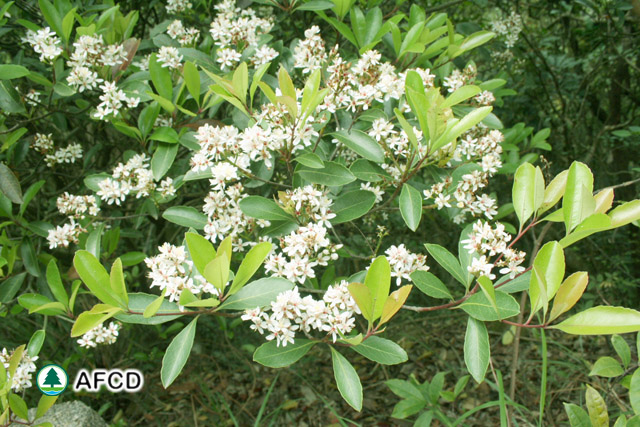 Afcd characteristics of major local tree species propagated by afcd raphiolepis indica a scrub or small tree which flowers in early spring mightylinksfo