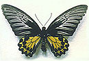 黄 扇 蝶