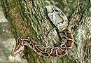 缅 甸 蟒 蛇