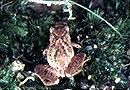 卢 文 氏 蛙
