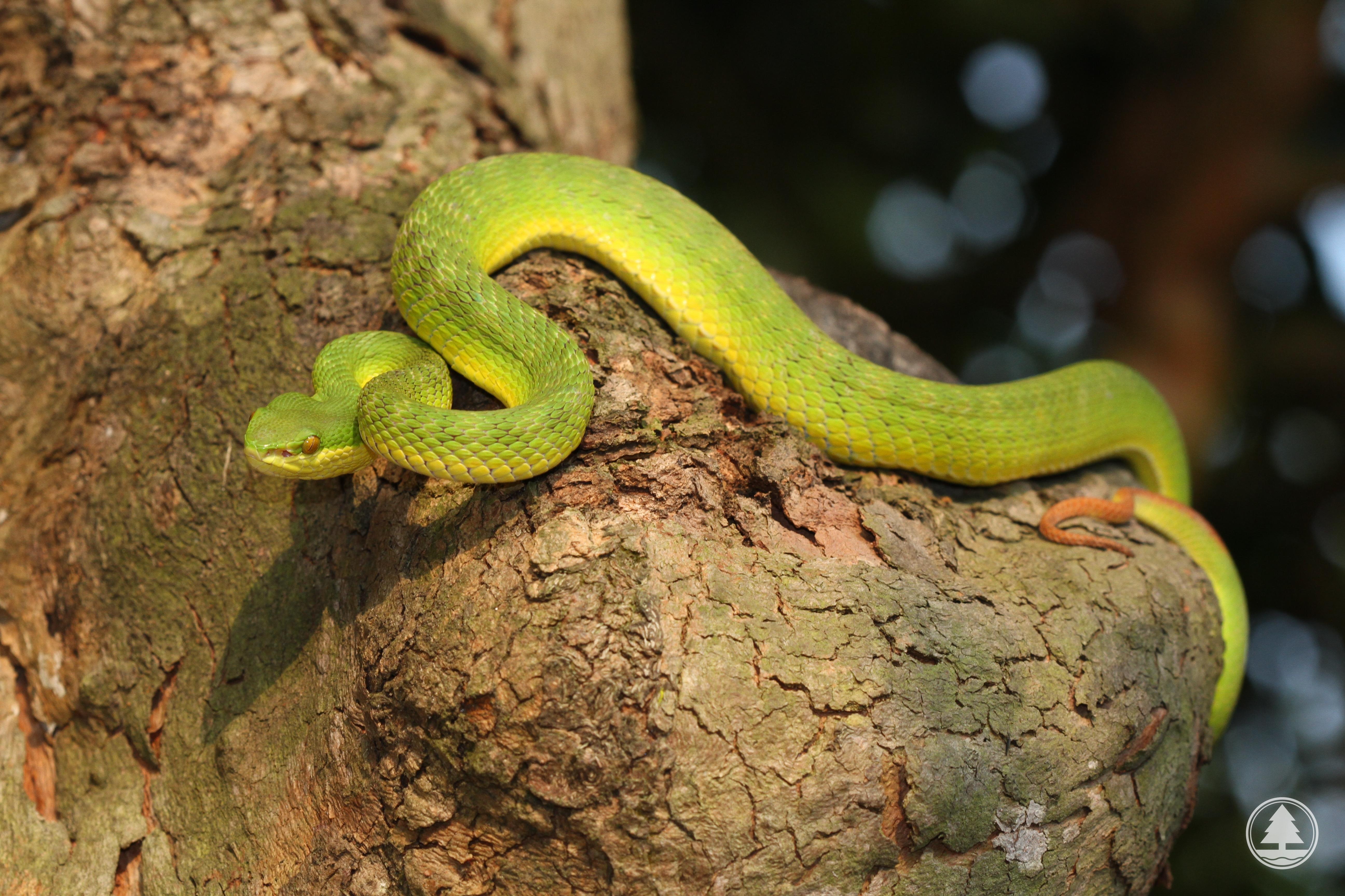 青 竹 蛇