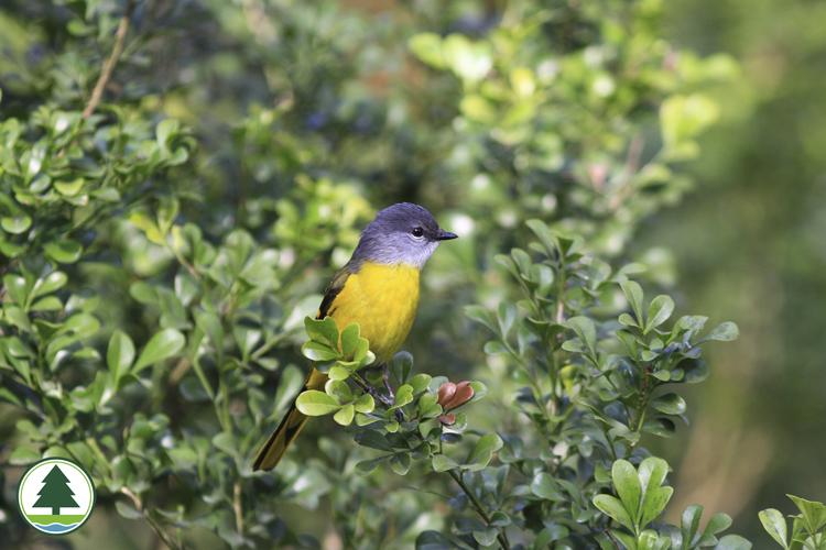 灰喉山椒鸟 (雌性)